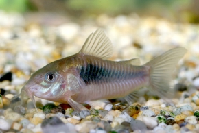 Freshwater Tropical Fish Profiles Bottom Feeders Witness This