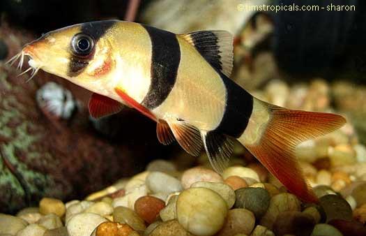 Freshwater Tropical Fish Profiles: Bottom Feeders (4/6)