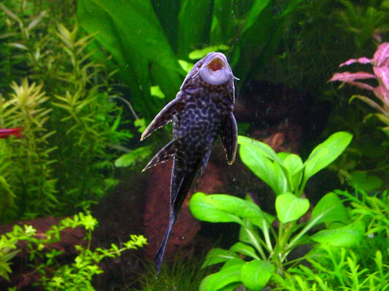Freshwater tropical fish profiles bottom feeders for Clean fish tank